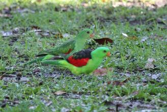 Red-winged Parrots, male female, Timber Creek