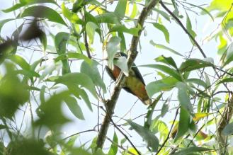 Rose-crowned Fruit-Dove, Fogg Dam