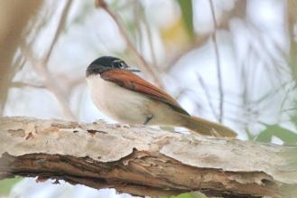 Shining Flycatcher - female, Gagudju