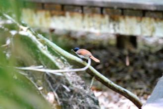 Shining Flycatcher- female, Fogg Dam