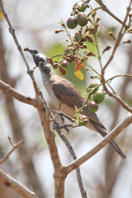 Silver-crowned Friarbird, Knuckley Lagoon