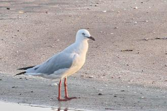 Silver Gull, Lee Point