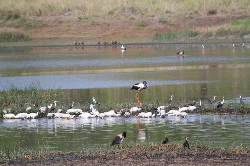 Storks, Herons, Cormorants, Spoonbills, White Ibis, McMinns Lagoon