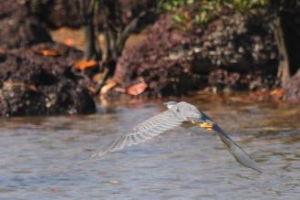 Striated Heron, East Point