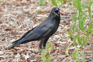 Torresian Crow, Nourlangie