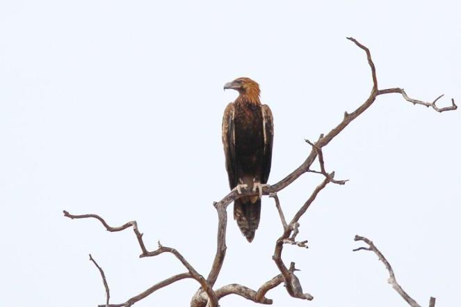 Wedge-tailed Eagle, Katherine