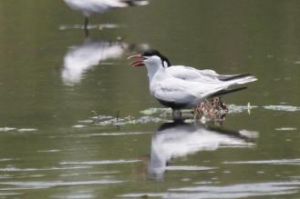 Whiskered Terns, McMinns Lagoon