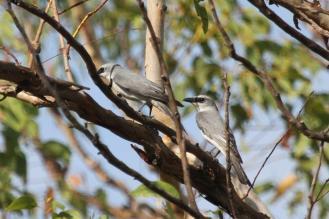 White-bellied Cuckoo-shrike, Charles Darwin