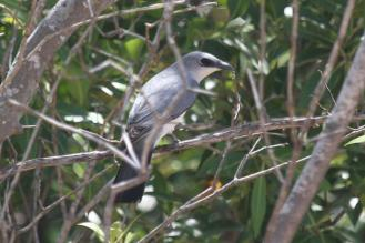 White-bellied Cuckoo-shrike, East Point