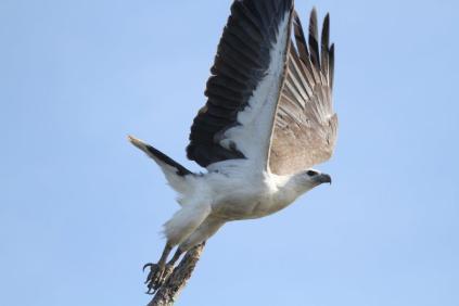 White-bellied Sea-Eagle, Gagudju - Yellow Water