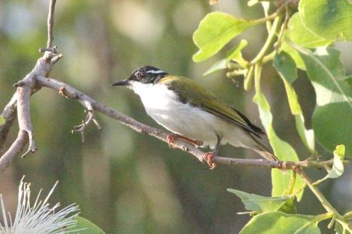 White-throated Honeyeater, Charles Darwin