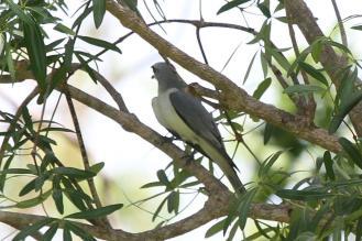 White-bellied Cuckooshrike, Mary River Camp