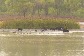 Feral Pig, Bird Billabong - Mary River