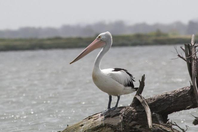 Australian Pelican, Werribee