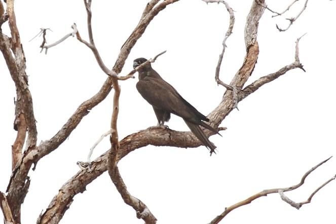 Black Falcon, Victoria River