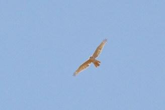 Grey Falcon, en route to Timber Creek