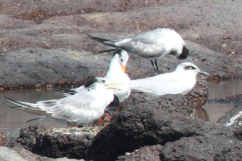 Lesser Crested, Crested & Gull-billed Terns, East Point