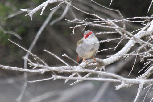 Red-browed Finch, Werribee