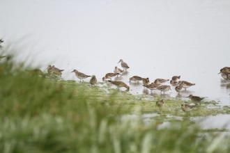 Sharp-tailed and Curlew Sandpipers, Werribee