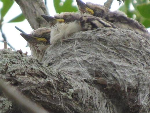 White-crested Helmet Shrike chicks