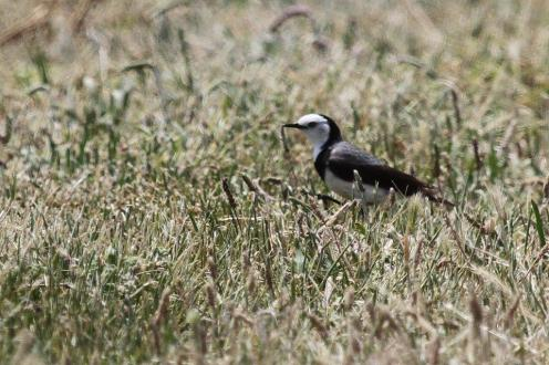 White-fronted Chat, Werribee