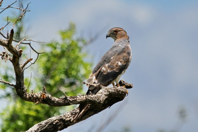 African Cuckoo-Hawk - immature