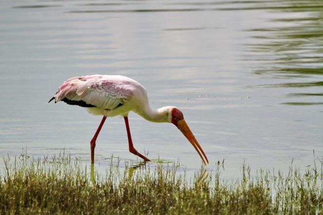 Yellow-billed Stork,Ndumo - quite pink (not a Spoonbill - quite doff!)