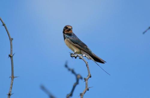 Barn Swallow,