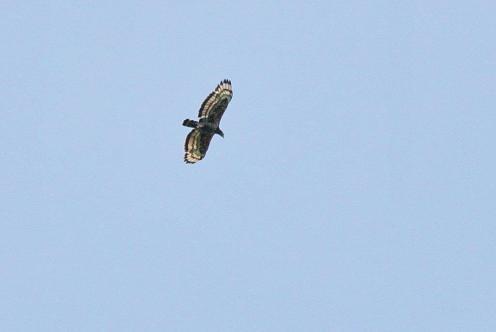 Crowned Eagle,