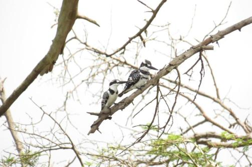 Pied Kingfishers,