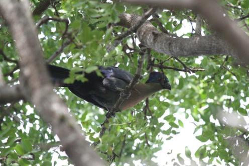 Purple-crested Turaco,