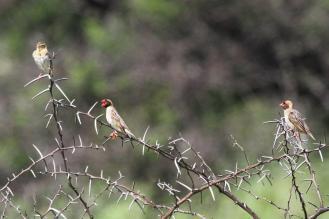 Red-billed Queleas