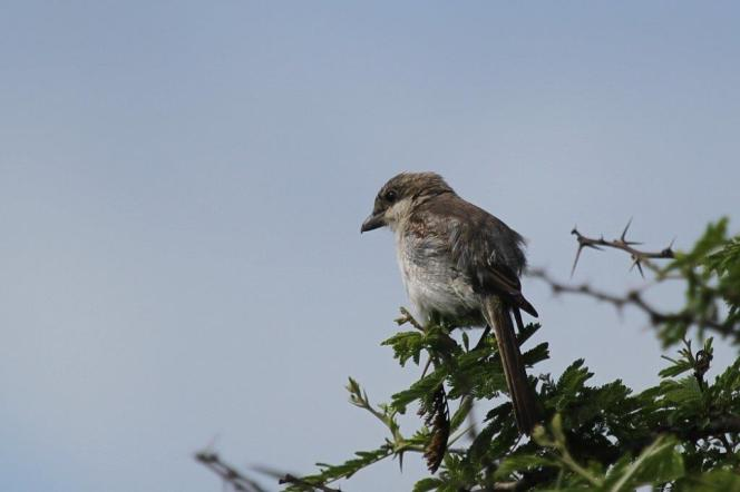 Common Fiscal - juvenile, Mkuze (UI Bird)