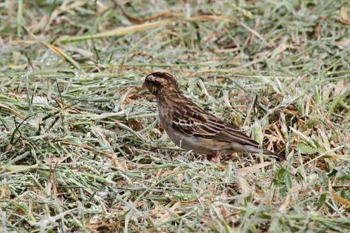 Long-tailed Paradise-Whydah, Mkuze in transitional plumage (UI Bird)
