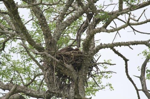 Wahlberg's Eagle infant on nest