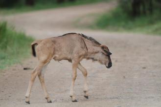 Wildebeest - juvenile,