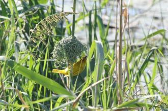 Yellow Weaver building his nest
