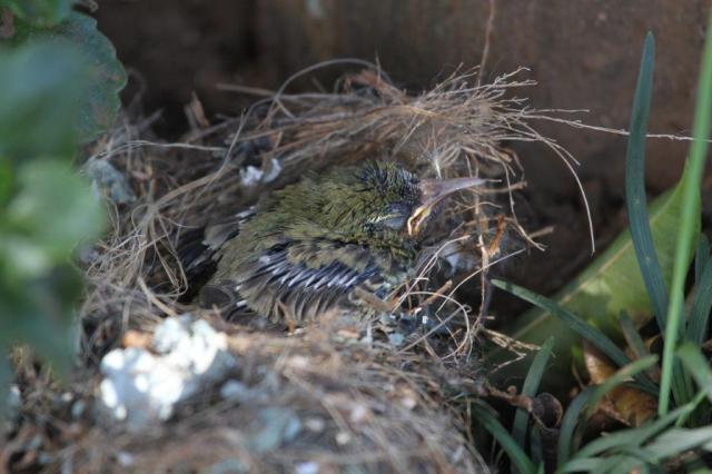 Amethyst Sunbird chick in its ant infested nest.