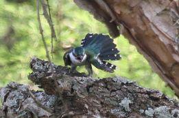 Diedrick's Cuckoo
