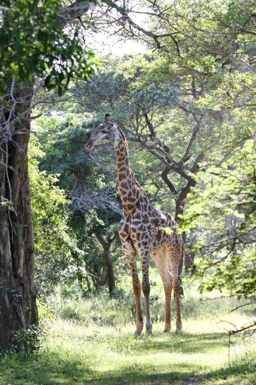 Giraffe - free to wander anywhere in the Park.