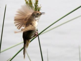 Aerial Display sequence of a Little Rush-Warbler
