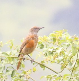 Mystery Bird - juvenile Cape Rock-Thrush??