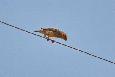 Fan-tailed Widowbird??
