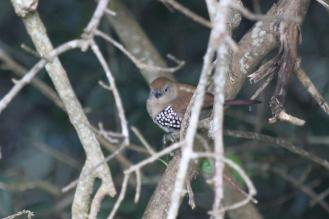 Pink-throated Twinspot - female
