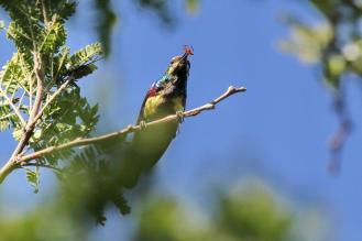 Purple-banded Sunbird- messy plumage