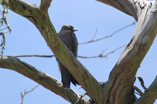 Walhberg's Eagle - juvenile