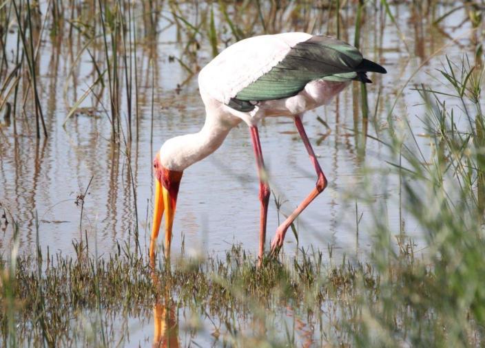 Yellow - billed Stork