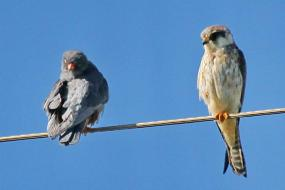 Amur Falcon with pale rufous head