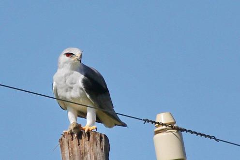 Black Shouldered Kite and catch