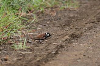 Chestnut-backed Sparrow-Lark